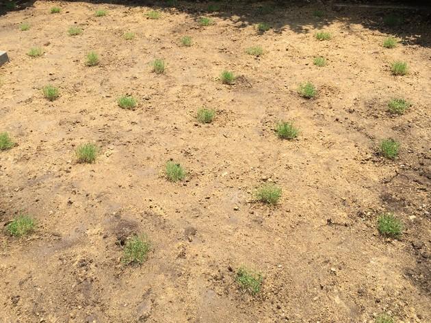 ポット苗の芝ティフトン419を植えた直後