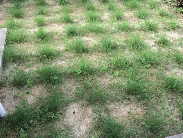 ポット苗の芝ティフトン419 芝刈り前