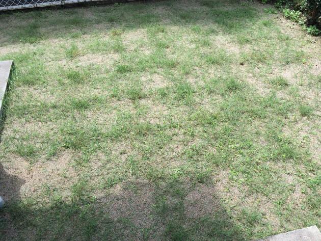 ポット苗の芝ティフトン419 芝刈りと目土作業後