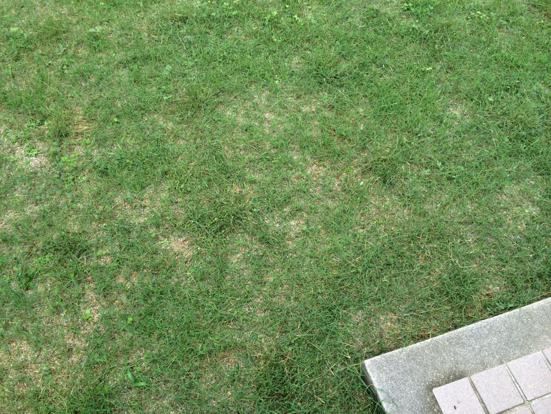ポット苗の芝ティフトン419ティフトン芝