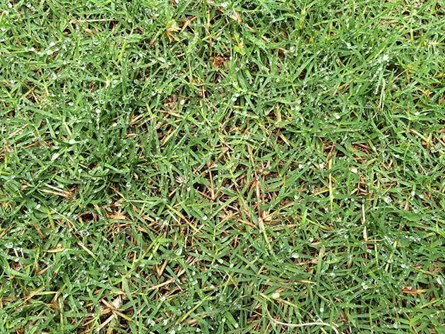 芝生のはてな#1|ポット苗の芝ティフトン419鳥取方式