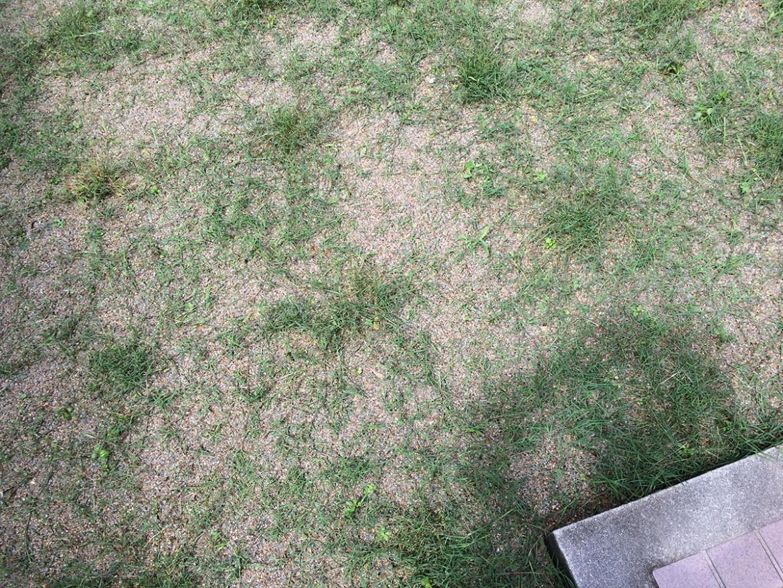 ポット苗の芝ティフトン419 初めての目土