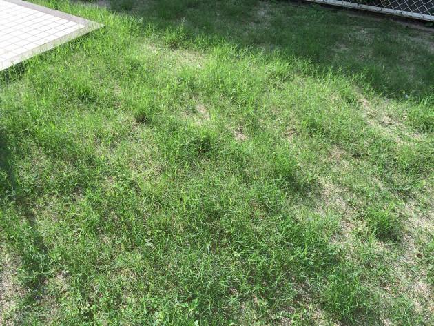 ポット苗の芝ティフトン419 6週間目の様子