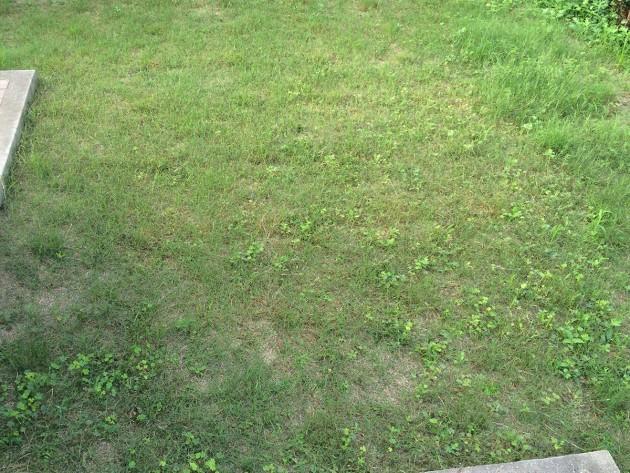 ポット苗の芝ティフトン419 植栽から7週間目