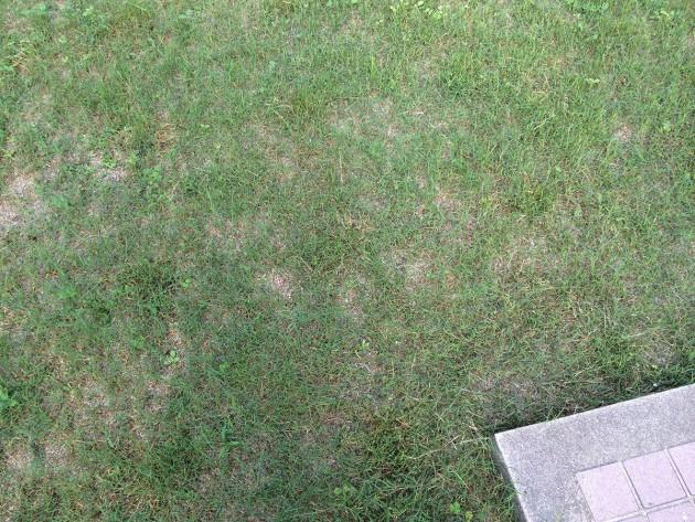 ポット苗の芝ティフトン419 7週間目の芝刈り後