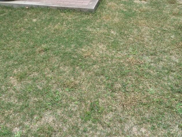 ポット苗の芝ティフトン419 芝刈り後