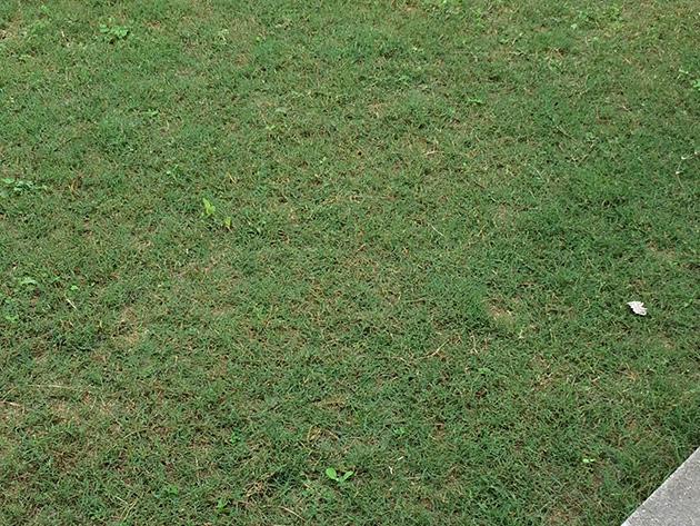 芝生日記#13|ティフトン芝の植栽から10週間目|そろそろピークです。