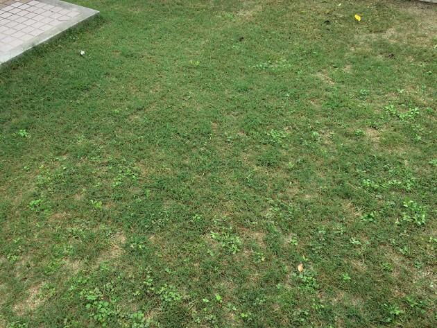 ポット苗の芝ティフトン419 週2回ペースの芝刈