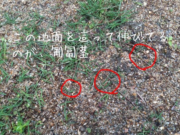 ティフトン 匍匐茎