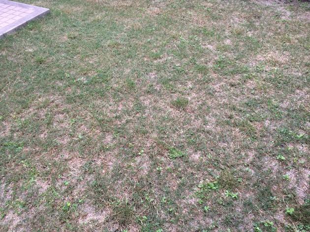 ポット苗の芝ティフトン419の植栽から3ヶ月目