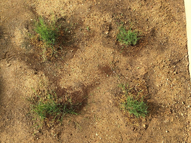 ポット苗の芝 ティフトン419