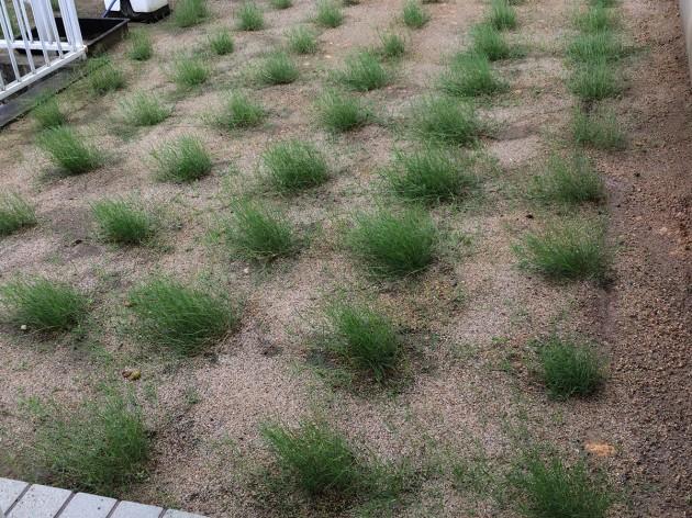 ポット苗のティフトン芝 風雨に晒されてます。