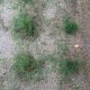 ポット苗の芝ティフトン419 植栽から4週間目