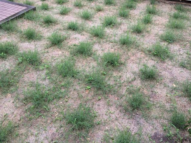 ポット苗の芝ティフトン419 初めての芝刈り(カット)