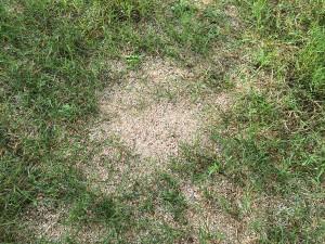 ポット苗の芝ティフトン419 植栽後7週間目