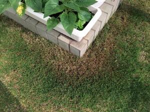 ポット苗の芝ティフトン419の軸刈り