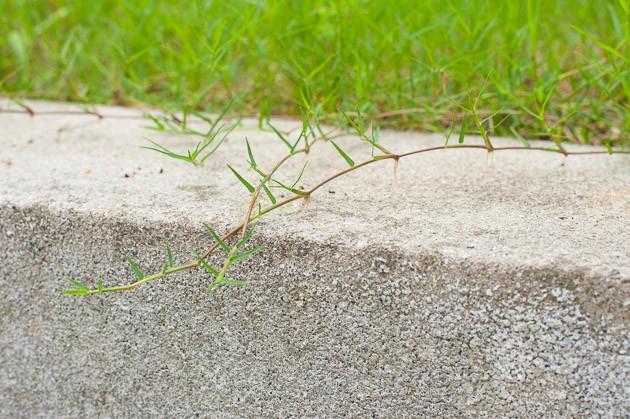 芝生日記#18|ポット苗の芝ティフトン419|あらゆる方向に伸びるティフトン芝