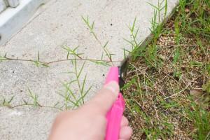 ポット苗の芝ティフトン419 匍匐茎のカット