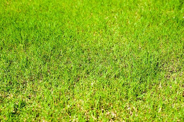 順調に生長するポット苗の芝ティフトン419