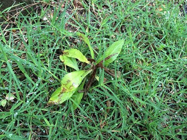 芝専用除草剤シバゲンDFの効果