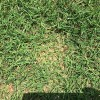 芝生日記#17|ポット苗の芝ティフトン419|芝刈りで軸刈り