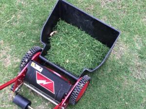 ポット苗の芝ティフトン419の芝刈り