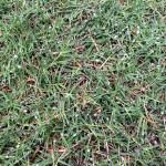 芝生日記#18|ポット苗の芝ティフトン419|カットした匍匐茎の有効活用!?