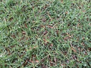 芝生日記#18 ポット苗の芝ティフトン419 カットした匍匐茎の有効活用!?