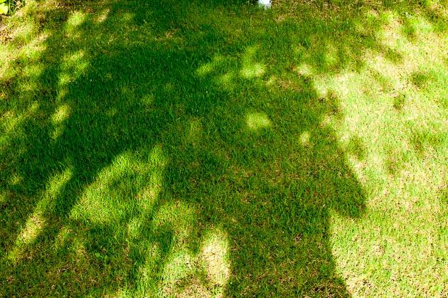 芝生日記#19|ポット苗の芝ティフトン419|害虫退治オルトランDX粒剤